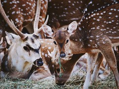 Damhirsche 😍 (Christian Passi - Steher82) Tags: nature natur animal a6000 sonya6000 cute deer eyes auge geweih germany photography damwild wil wild wildlife hirsch tiere tier outside outdoor bambi bambino contrast 2018 flickr