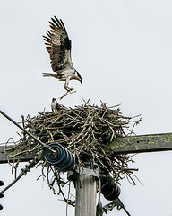 What Fish for Dinner Again?  - Osprey Nest, Cape Cod (flying cats (AKA Penny Carlson)) Tags: nest osprey fish capecod