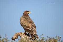 The Looks.... (Anirban Sinha 80) Tags: nikon d610 fx 500mm f4 ed vrii n g bird eagle bokeh natural tree beak eye looks wings sky portrait
