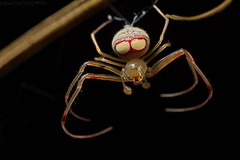 Pirate spider (Gelanor sp.) (pbertner) Tags: jardinbotanicodelpacifico pacificcoastal rainforest southamerica colombia bahiasolano choco mimetidae piratespider