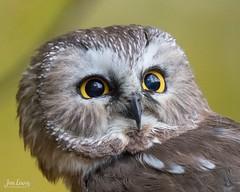 Northern Saw Whet owl portrait (jklewis4) Tags: blandfordnaturecenter fieldtrip grcc grandrapids grandrapidscameraclub michigan workshop bird birdofprey birds northernsawwhetowl owl raptor wildlifeshoot