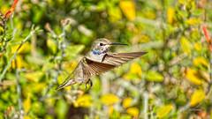 Let's Shake On It (VGPhotoz) Tags: vgphotoz marculescueugendreamsoflightportal hummingbird colibri inflight usa northamerica nature wings arizona dance naturephotography artphotography photos funpics ptica body