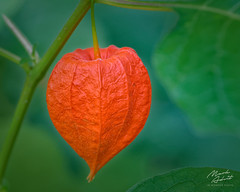 Chinese Lantern (In Wonder Photo) Tags: plant macro fruit orange green physalis alkekeng nikon d850 markadsiti