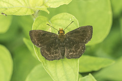 Staphylus ceos (fabriciodo2) Tags: staphylusceos papillon nature macro sigma150 or chichenitza mexique