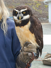 IMG_131822 (TMM Cotter) Tags: spectacled owl pulsatrix perspicillata cowichan exhibition fall fair pacific northwest raptors duncan bc cowex