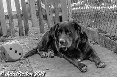 Rest after the romp - Colorkey (Steffi.K.) Tags: rot labradorretriever dog hund cube domestic animal black haustier schwarz garden garten würfel