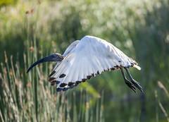 The Takeoff (Arranion) Tags: bird fly takeoff white feathers animal wildlife beak wing canon 5d2