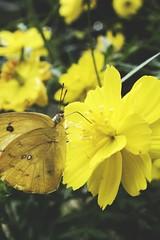 Senja di siang hari (malikp.sulistiyanto) Tags: bunga alam kupukupu indonesia eksplorenusantara