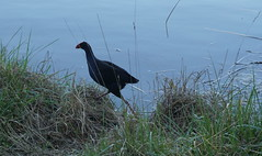 Swamp hen leaves the rushes (spelio) Tags: act canberra australia