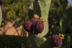 Higos chumbos (timct4) Tags: jardin garden madrid photography green photoshop real botanico de botanic royal fruit barbary figs
