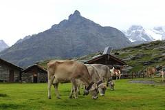 Alpe Prabello (Freyja H.) Tags: italy lombardy sondrio valtellina valmalenco alpeprabello alpe cow sassomoro