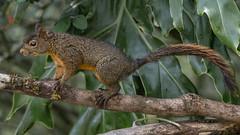 The Andean squirrel (Sciurus pucheranii) (PriscillaBurcher) Tags: mammal mammalsofsouthamerica mammalsofcolombia mammalsoftheandes andeansquirrel sciuruspucheranii ardillaandina ardilla treesquirrel squirrel roedor endemic endémico sciuridae laceja colombia priscillaburcher dsc2632