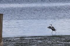 Great blue heron - Puget Sound - Renton, WA (old_ytv) Tags: sound puget washington blue water bird heron