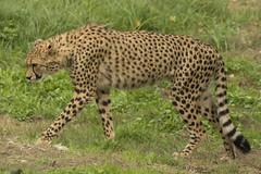Jachtluipaard - Safaripark Beekse Bergen - Hilvarenbeek (Jan de Neijs Photography) Tags: dierentuin zoo tamron tamron150600 150600 dierenpark nl holland thenetherlands dieniederlande utrecht diergaarde g2 animal dier beeksebergen safaripark safariparkbeeksebergen hilvarenbeek sbb luipaard jachtluipaard acinonyxjubatus cheeta gepard roofdier acinonyx