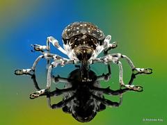 Weevil, Curculionidae (Ecuador Megadiverso) Tags: andreaskay beetle coleoptera curculionidae ecuador focusstack weevil