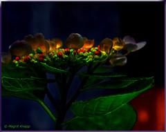 Verwandlung (magritknapp) Tags: tellerhortensie hortênsia hydrangea hortensia makro cof037dmnq cof037uki cof037ally cof037chon