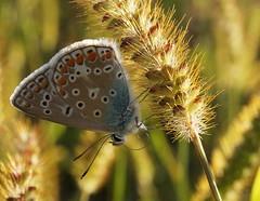Multicolore MM (passionpapillon) Tags: macro mondays macromondays multicolor insecte papillon butterfly argus passionpapillon 2018