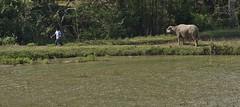 INDONESIEN , Sulawesi, Im Norden, Landwirtschaft, 17668/10681 (roba66) Tags: urlaub reisen travel explore voyages rundreise visit tourism roba66 asien asia indonesien indonesia insel celebes island île insulaire isla see stier büffel buffalo landwirtschaft bauer farmer lake