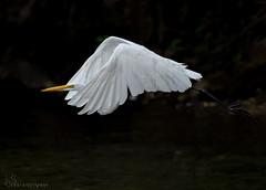 Great Egret in flight. (Estrada77) Tags: greategret water wildlife foxriver nikon nikond500200500mm summer2018 aug2018 kanecounty inflight birds birding