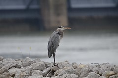 Great Blue Heron_1964 (Porch Dog) Tags: 2018 garywhittington kentucky nikond7000 nikkor200500mm september fall greatblueheron feathers tennesseeriver barkleydam wildlife nature avian bird