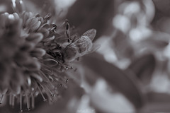 the honey bee (Andrew 9316) Tags: bug bees honey flower nature