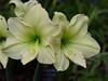 White Lily (npbiffar) Tags: garden outdoor flower lily white macro plant bright npbiffar 60mm tamron d5300 nikon ngc coth5
