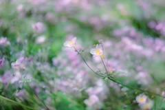 Soft Pink (JMS2) Tags: flowers garden pink petals summer bokeh plants soft doubleexposure