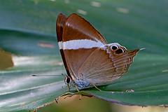 Archigenes (Abisara) neophron - the Tailed Judy (BugsAlive) Tags: butterfly mariposa papillon farfalla 蝴蝶 schmetterling бабочка conbướm ผีเสื้อ animal outdoor insects insect lepidoptera macro nature riodininae abisaraneophron tailedjudy nemeobiinae wildlife doisutheppuinp chiangmai ผีเสื้อในประเทศไทย liveinsects thailand thailandbutterflies nikon105mm bugsalive ผีเสื้อปีกกึ่งหุบหางยาว archigenesneophron