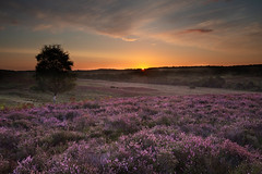 Rockord Common (Vanannlin) Tags: newforestnationalpark heather heathland purpleheather purple sunrise dawn earlymorningsun rockfordcommom uk hampshire canon 5diii 1635mmf4 landscape amateur