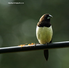 IMG_6245 White-rumped Munia (Lonchura striata) (vlupadya) Tags: greatnature animal aves fauna indianbirds whiterumped munia lonchura kundapura karnataka
