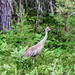 Sandhill Crane in a Forest