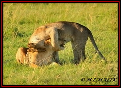 FEMALE LIONESS (Panthera leo) WITH HER CUB......MASAI MARA......OCT 2013 (M Z Malik) Tags: nikon d3x 200400mm14afs kenya africa safari wildlife masaimara keekoroklodge exoticafricanwildlife exoticafricancats flickrbigcats leo lions cats ngc npc