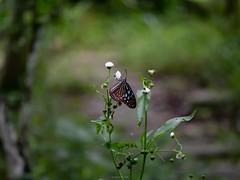 蝶採花04 (enno7898) Tags: panasonic lumix g9 lumixg9 vario 45200mm f4056 butterfly