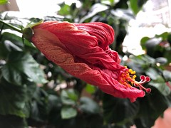 The morning after series: Close up of 1 of 7 faded hibiscus flowers (peggyhr) Tags: peggyhr bud faded hibiscus toronto canada series rainbowofnaturelevel1red