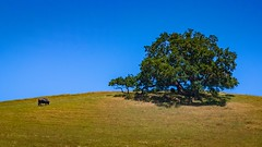 Oak on Hillside (CDay DaytimeStudios w/1,000,000 views) Tags: bluesky ca california eastbay hills mountdiablo mountdiablostatepark sanfranciscobayarea trees wildflowers woodland