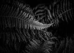 Vortex (gks18) Tags: bw blackandwhite noiretblanc naturalistic fern garden vancouvercanon lightroom nik macro cof034mark cof034wern cof034mari cof034ettigirbs cof034dmnq cof034ally cof034cg
