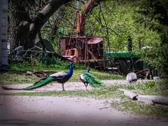 Peacock Path (clarkcg photography) Tags: birds color peacock farm machinery farmmachinery fauna sundayfauna 7dwf feathers