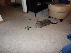 DSCN3203 (mestes76) Tags: 100617 duluth minnesota cats pets fetty fettucini cattoys butterflies playing