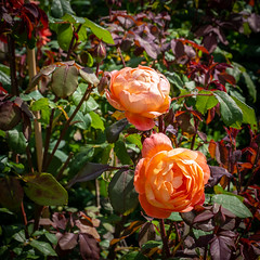 Cabbage roses, Great Chalfield Manor gardens (Bob Radlinski) Tags: cotswoldsbath england europe greatbritain greatchalfield greatchalfieldmanor nationaltrust uk wiltshire travel em1d0144orf