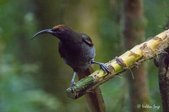 Black Sicklebill, female (Ser-val) Tags: epimachusfastosus blacksicklebill чёрныйшилоклюв paradisaeidae