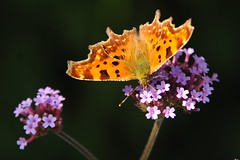 vlinder (Don Pedro de Carrion de los Condes !) Tags: donpedro vlinder kleurig