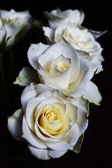 DSC_1433 (PeaTJay) Tags: nikond750 sigma reading lowerearley berkshire macro micro closeups gardens indoors nature flora fauna plants flowers bouquet rose roses rosebuds