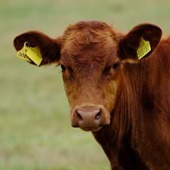Salt marsh cattle (Dave Bickley) Tags: cattle cow norfolk cleynextthesea coastal coast grass animal livestock