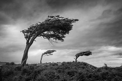 Trees, Tierra del Fuego, Argentina (pas le matin) Tags: landscape tree sky ciel grass herbe paysage mountain montagne travel arbres vent wind voyage world argentine argentina patagonia patagonie tierradelfuego terredefeu ushuaia bw nb blackandwhite noiretblanc monochrome canon 5d 5dmkiii canon5dmkiii eos5dmkiii canoneos5dmkiii