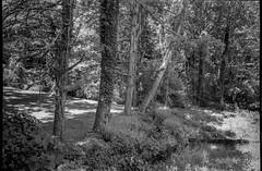 edge of forest, trees, speckled light, West Asheville, North Carolina, Olympus XA4, Kodak TMAX 400, Kodak TMAX developer, 9.2.18 (steve aimone) Tags: forest woods woodland trees visualrhythm speckledlight westasheville northcarolina olympusxa4 kodaktmax400 kodaktmaxdeveloper compactcamera pointandshoot 35mm 35mmfilm film landscape blackandwhite monochrome monochromatic
