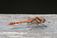 Common Darter - Sympetrum striolatum (m) (Roy Lowry) Tags: commondarter sympetrumstriolatum londonwetlandcentre dragonfly