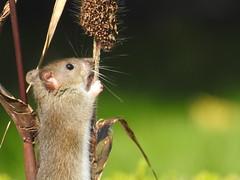 brown rat Rattus norvegicus  muridae (BSCG (Badenoch and Strathspey Conservation Group)) Tags: mammal rodent muridae rattus park urban august feeding sunshine
