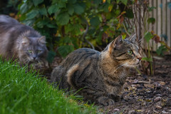 Sometimes danger comes from a direction where you don't suspect it (FocusPocus Photography) Tags: sethi fynn katze kater cat chat gato tier animal haustier pet zaun fence garten garden gefahr danger