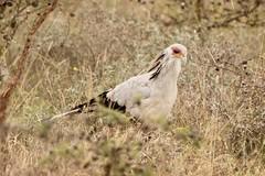In the bush (Nagarjun) Tags: secretarybird sagittariusserpentarius bigbird avifauna feathers nairobinationalpark gamedrive savannah kenya