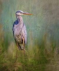 Proud Poser (Wes Iversen) Tags: brighton greatblueheron hss kensingtonmetropark michigan milford sliderssunday birds grasses texture water waterbirds wildlife